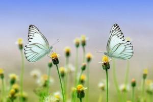 butterfly-1127666__340